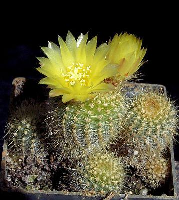 Notocactus rechensis in Kultur